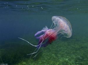 Pelagia-noctiluca-foto-de-Eduardo-OBIS